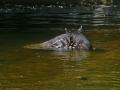 tapir_maleise_jong_a_0146web_0