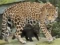 01. Jaguarwelpen in ARTIS voor het eerst buiten het nest. Foto ARTIS, Joke Kok