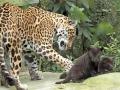 02. Jaguarwelpen in ARTIS voor het eerst buiten het nest. Foto ARTIS, Joke Kok