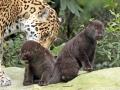 03. Jaguarwelpen in ARTIS voor het eerst buiten het nest. Foto ARTIS, Joke Kok