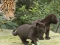 04. Jaguarwelpen in ARTIS voor het eerst buiten het nest. Foto ARTIS, Joke Kok