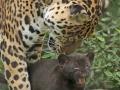 05. Jaguarwelpen in ARTIS voor het eerst buiten het nest. Foto ARTIS, Joke Kok