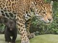 06. Jaguarwelpen in ARTIS voor het eerst buiten het nest. Foto ARTIS, Joke Kok
