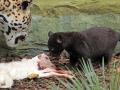 07. Jaguarwelpen in ARTIS voor het eerst buiten het nest. Foto ARTIS, Joke Kok