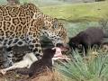 08. Jaguarwelpen in ARTIS voor het eerst buiten het nest. Foto ARTIS, Joke Kok