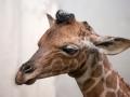 Het giraffeveulen heeft nog platte hoorns. Foto Artis, Ronald van Weeren