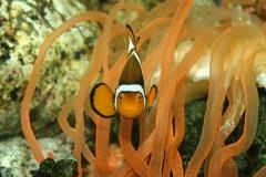 Annemoonvissen-kunnen-hun-geslacht-veranderen-van-vrouw-naar-man.-Foto-ARTIS-Ronald-van-Weeren