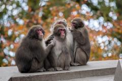 In-Japanse-makaakgroepen-zijn-er-vrouwenkoppels.-Foto-ARTIS-Edwin-Butter