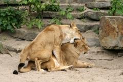 Paringen-tussen-leeuwinnen-zijn-zowel-in-dierentuinen-als-in-het-wild-gezien.-Foto-ARTIS-Ronald-van-Weeren