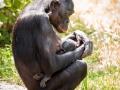 PL_Bonobo7aug17_JonasVerhulst-9
