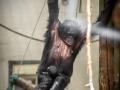 fotolink_bonobobaby_4