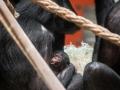 fotolink_bonobobaby_5