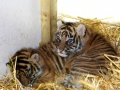 Tiger Cubs at Chessington Zoo