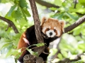 A red panda sitting in a tree (Adobe RGB)