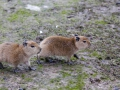 Pairi Daiza_Capybara-Capibara3