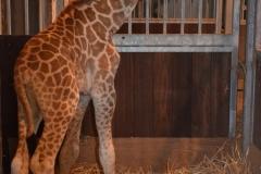 Bellewaerde_Giraf_1_HR