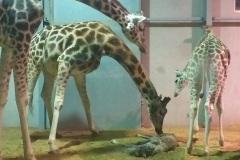 Bellewaerde_Giraf_1