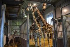 Bellewaerde_Giraf_HR_3
