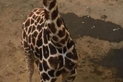 Aankomst-giraffe-Narus-_1_