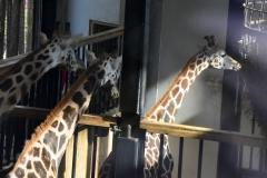 Aankomst-giraffe-Narus-_4_