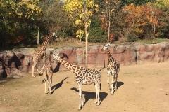 Aankomst-giraffe-Narus---introductie-buiten
