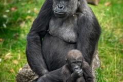 gorilla-matadi-thandie-zoo-antwerpen-jonas-verhulst-02092019-2