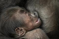 gorilla-mayani-en-baby-t-zoo-antwerpen-jonas-verhulst-28112018-8