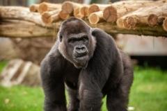 mensapenvallei-gorilla-mambele-zoo-antwerpen-jonas-verhulst-28062017-25