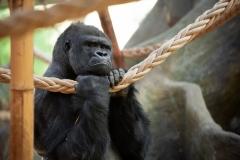 gorilla-matadi-zoo-antwerpen-jonas-verhulst-13122018-2