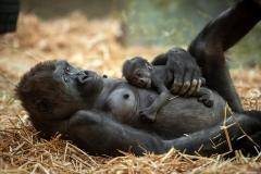 gorillababy-t-zoo-antwerpen-jonas-verhulst-13122018-3
