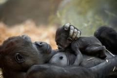 gorillababy-t-zoo-antwerpen-jonas-verhulst-13122018-6