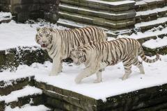 Tigres-royaux-PDZ-neige