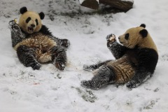 jumeaux-pandas-geants-neige-PDZ
