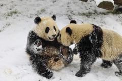 jumeaux-pandas-neige-PDZ
