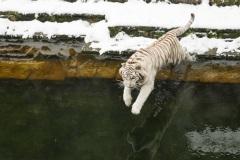 tigre-royal-PDZ-neige