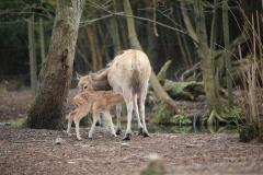 Père-Davids-Deer-3
