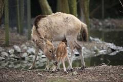 Père-Davids-Deer-4