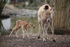 Père-Davids-Deer-5