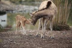 Père-Davids-Deer-6