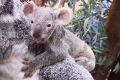 koala-tin-tookie-en-ainga-planckendael-1
