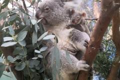 koala-tin-tookie-en-ainga-planckendael-2