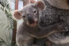 koala-tin-tookie-en-ainga-planckendael-3