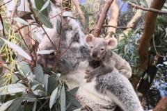 koalatintookie