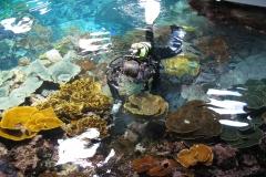 Zelfgekweekt-koraal-oogsten
