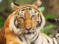 tiger-exhibit_1