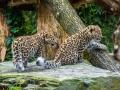 Bellewaerde_Amur_Leopard_Cubs
