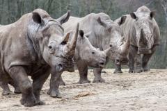 Neushoorngroep-Burgers-Zoo-2