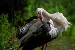 ooievaar-zoo-planckendael-jonas-verhulst-04092019-6