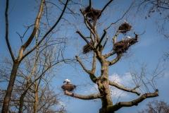 ooievaar-zoo-planckendael-jonas-verhulst-21032019-1