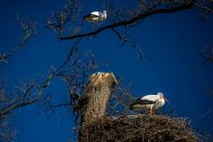 ooievaar-zoo-planckendael-jonas-verhulst-24032020-10-1